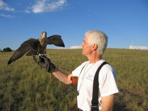 Dan Cecchinni Jr., master falconer and COCC's director of ITS, prepares to release hybrid gyrfalcon x peregrine, Hapa.