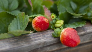 Strawberries grow at Hollyhill Hummingbird Sustainable Farm in Cupertino, California, December 5, 2012. (Patrick Tehan/San Jose Mercury News/MCT)