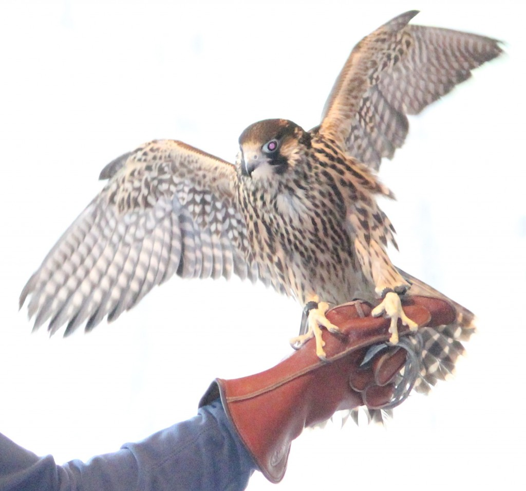 A peregrine falcon shows off his wingspan at the High Desert Museum's Donald M. Kerr Birds of Prey Center. Anna Quesenberry The Broadside
