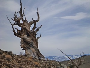 An Ancient Bristlecone Pine dominates the horizon line in western Nevada.  These trees are among the oldest living things on earth. Submitted by Ian Zatarain.